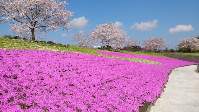 「芝桜」に関する、おすすめの観光・お出かけスポットや最新のイベント情報を紹介しています。人気の定番スポットから穴場情報までまとめましたので、楽しい週末や休日を過ごすための参考にしてくださいね。