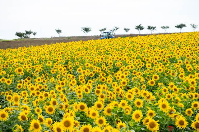 愛知 県 ひまわり 畑