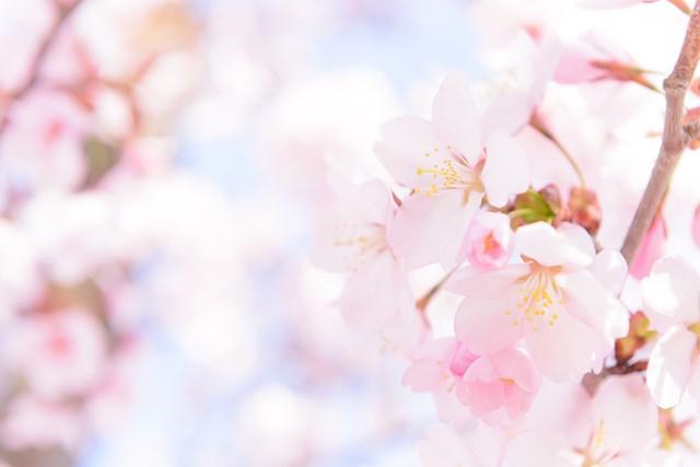 桜の時期に楽しもう!お花見イベント・春スイーツ特集
